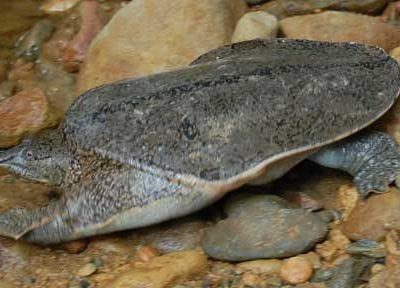 rugvlekweekschildpad