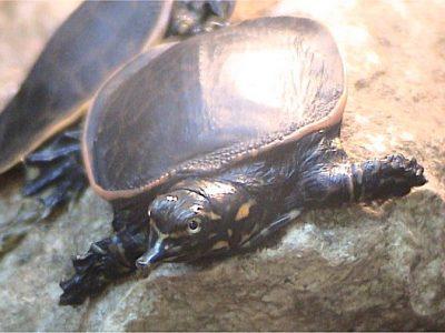 weekschildpadden
