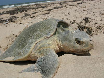 Kemps zeeschildpad