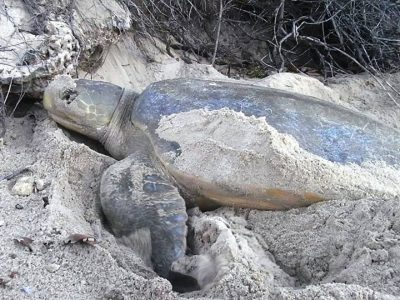 platrugzeeschildpad