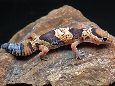 Afrikaanse vetstaartgekko