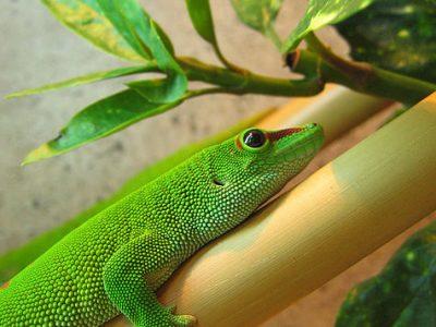 Madagaskar daggekko