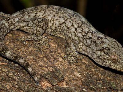 Wahlbergs gekko