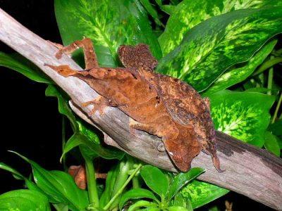 ebenaus bladstaartgekko