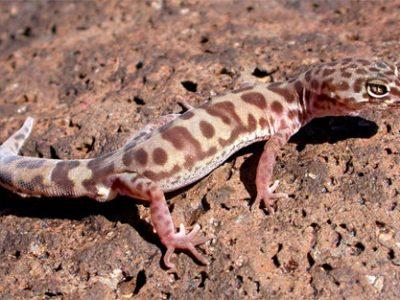 gebandeerde gekko