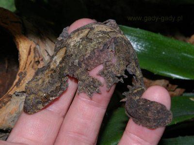 kuhls vliegende gekko
