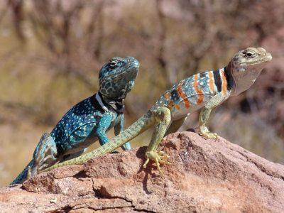 luipaard- en halsbandleguanen (3)