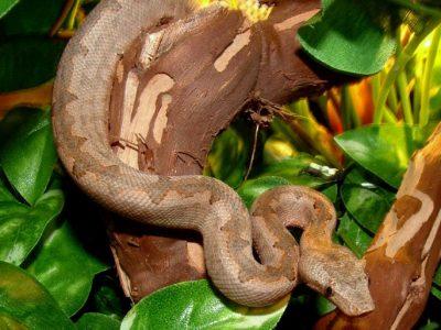 Melanesische boa