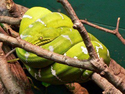 groene hondskopboa