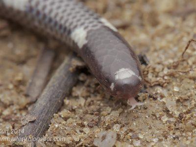 dwergpijpslangen-1