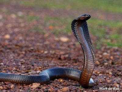 Egyptische-cobra-2