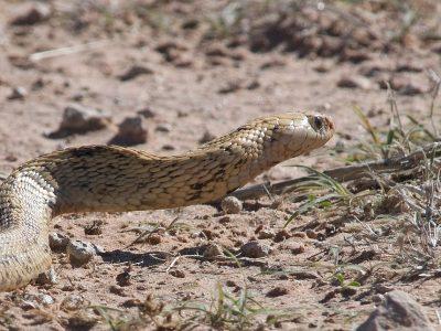 Kaapse cobra