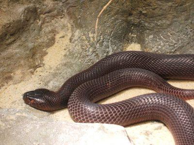 rode spuwende cobra