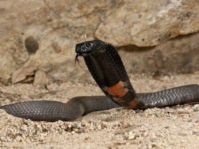 zwarthalscobra