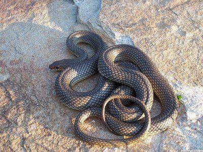 gladde slangen