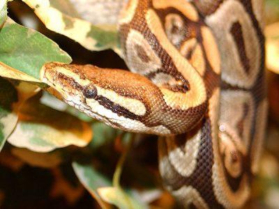 pythons-1