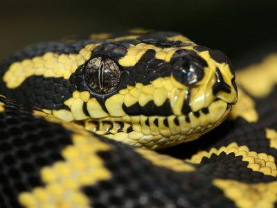 pythons-2