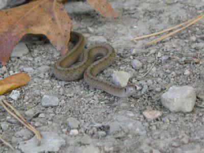 Amerikaanse bruine slang
