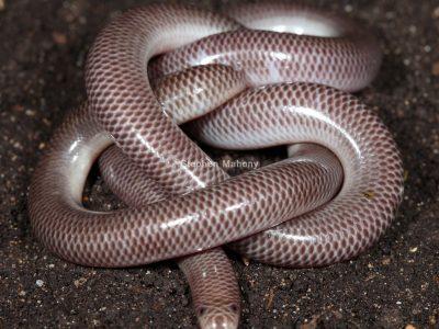 wormslangen-1