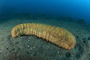 zeekomkommers (1)