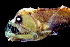 diepzeevissen