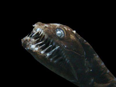 zwarte draakvissen (3)