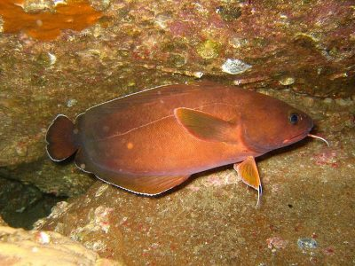 kabeljauwachtige beenvissen