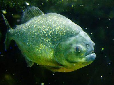 piranha's (3)