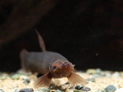 moddervissen (5)