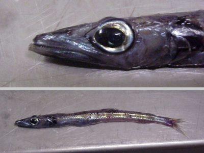 papierbeenvissen-2