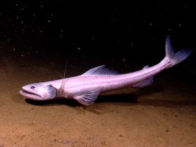 sabeltandvissen-4