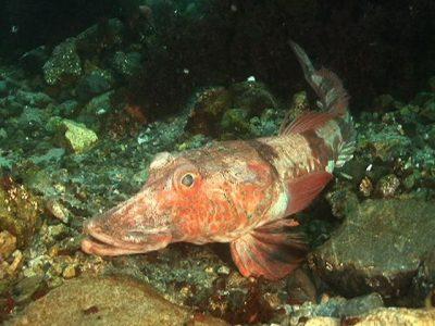 Antarctische draakvissen (3)