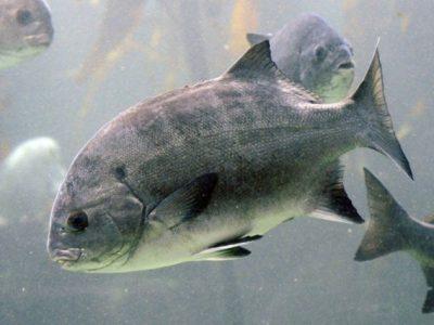 galjoenvissen (1)