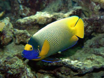 keizervissen (2)