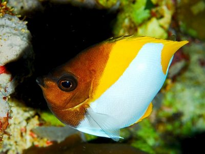 koraalvlinders (4)