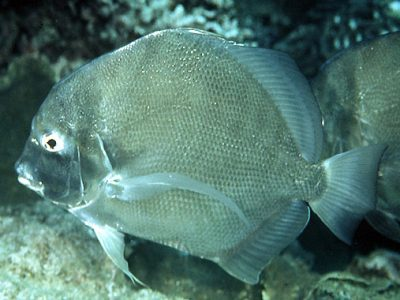 sikkelvissen (2)