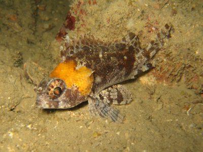 valse schorpioenvissen (2)