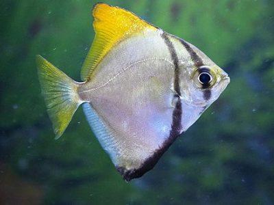 zilverbladvissen (2)