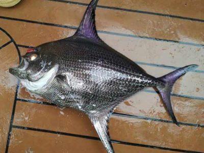 zilvervissen (5)