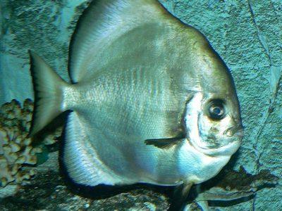 schopvissen (1)