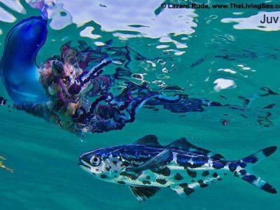 kwallenvissen (1)