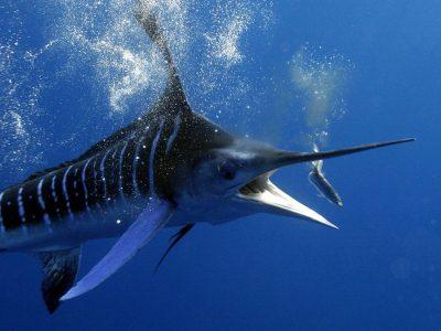 makreelachtigen (1)