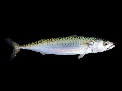 makrelen (1)