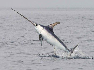 zwaardvissen (1)