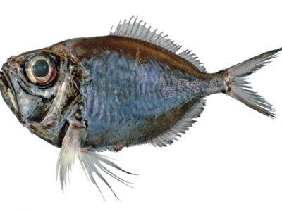snavelvissen (3)