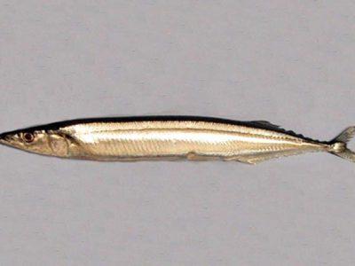 makreelgepen (2)