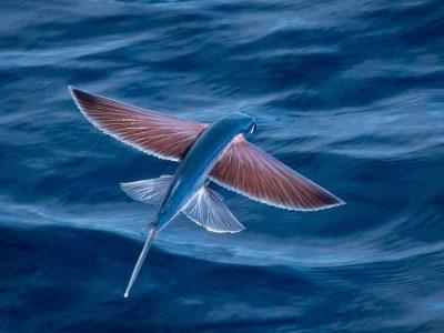 vliegende vissen (5)