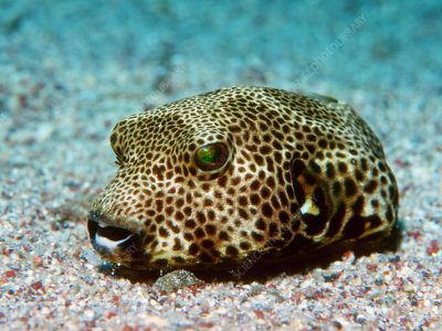 ^BStarry pufferfish^b (^IArothron stellatus^i) on the seabed. The body of this pufferfish contains the deadly poison tetrodotoxin (TTX), one of the most lethal poisons known. Photographed in the Red Sea, Egypt.