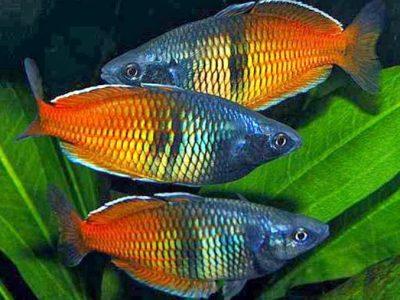 regenboogvissen (4)
