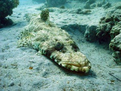 platkopvissen (2)